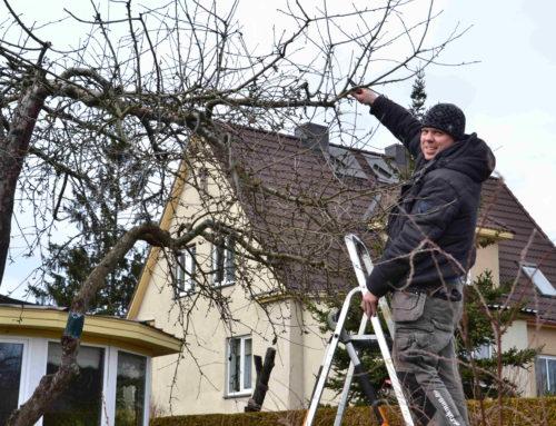 Miks on vaja igal kevadel oma viljapuid lõigata?